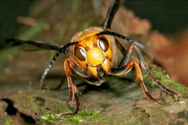 menguak-misteri-lebah-penyerang-manusia[1]